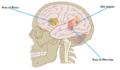 Áreas del hemisferio izquierdo.png
